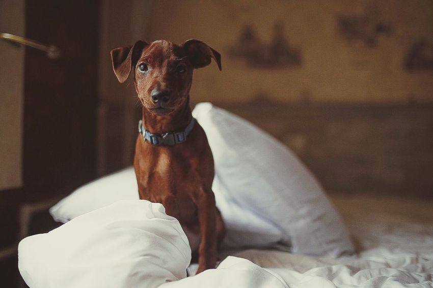 Dog Pets Domestic Animals Mammal Bed Looking At Camera Indoors  Animal Themes Portrait One Animal Home Interior No People Sitting Bedroom Day Close-up