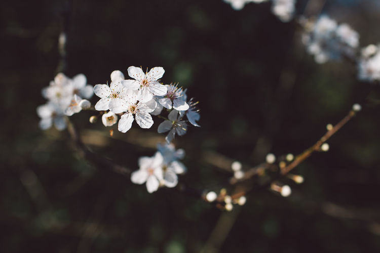 spring into spring Springtime Decadence Fragility Flower Flowering Plant Vulnerability  Plant Freshness Growth Beauty In Nature Close-up White Color Blossom Springtime Nature Day Petal Tree No People Selective Focus Twig Focus On Foreground Cherry Blossom Flower Head Outdoors Pollen Cherry Tree
