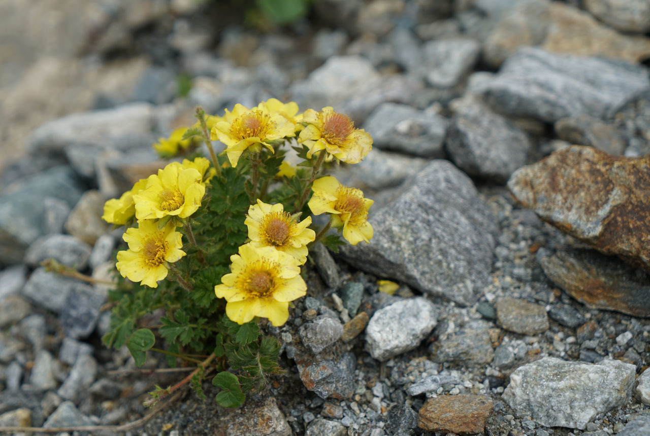 CLOSE-UP OF YELLOW FLOWERING PLANTS ON ROCK