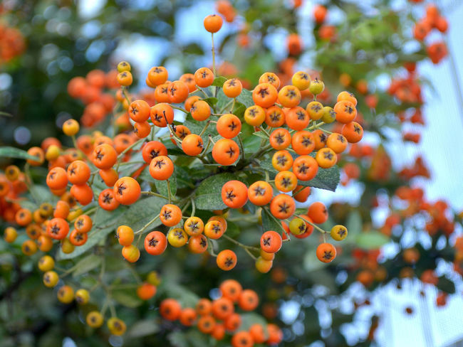 Orange berries of a decorative shrub Pyracantha coccinea on blured background, close-up Pyracantha Coccinea Orange Berries Orange Color Growth Day No People Leaf Plant Bush Shrub Selective Focus Outdoors Beauty In Nature Close-up