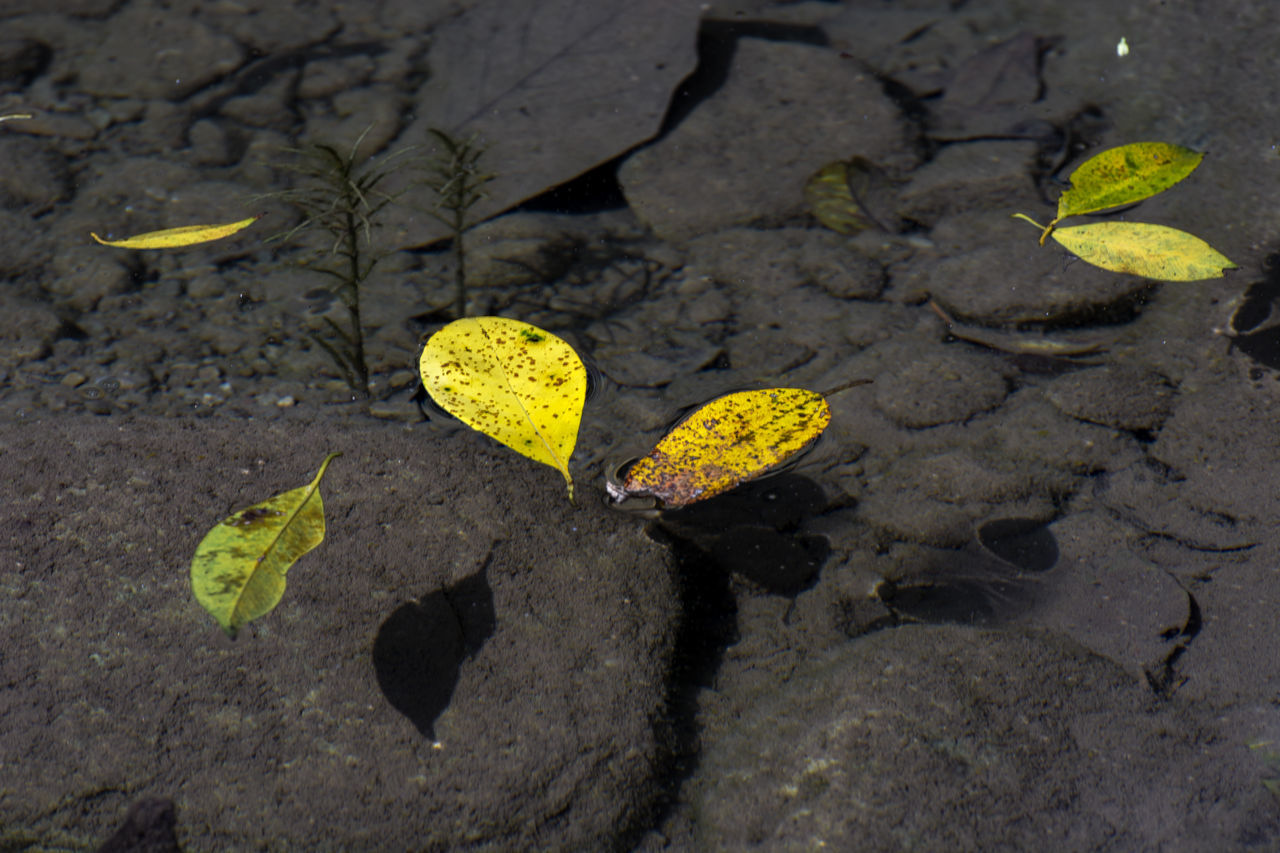 HIGH ANGLE VIEW OF YELLOW LEAVES ON PLANT DURING RAINY SEASON
