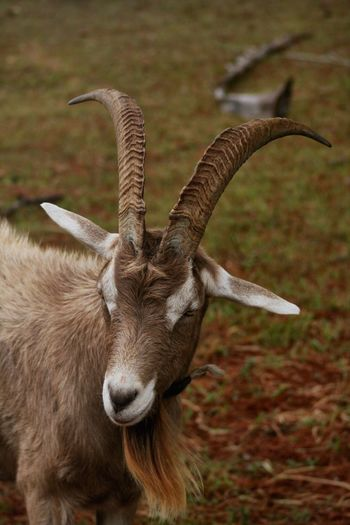 Horns Pet Photography  Canon Photography Goat Animal Animal Themes One Animal Mammal Horned No People Animal Body Part Vertebrate Domestic Animals Day Close-up Nature Field Animal Head  Land Herbivorous Outdoors Grass