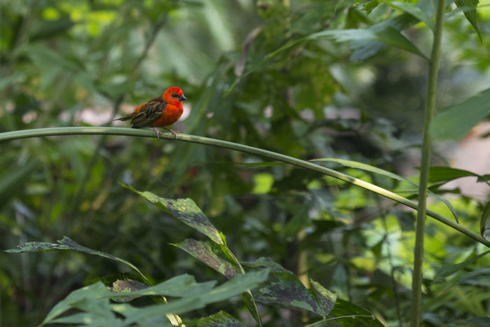 Rare Bird Angry Animals In The Wild Green Red Red Birds Red Bird Of Paradise Angrybirds Animal Animal Photography Bird Watching Contrast Colours Daydreaming Dreamers Emiliano Perani Good Morning Green Paradise Jungle Red Bird In Tree Simple Photography Simplicity War Zoology