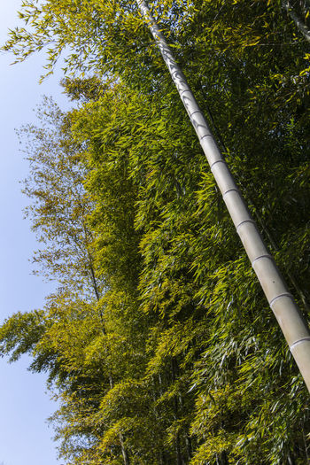 bamboo forest at Gwangyang Cheongmaesil Maeul in Jeonnam, South Korea Bamboo Gwangyang Plant Tree Nature Day Growth Outdoors Green Color Low Angle View Beauty In Nature No People Tranquility Tree Trunk Trunk Land Forest Branch Sky Bamboo - Plant Non-urban Scene Scenics - Nature Tree Canopy