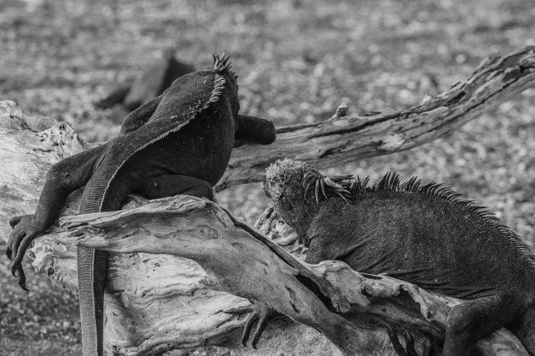Ecuador Galapagos Galapagos Islands Wild Animal Iguana Marine Iguana Iguana De Galapagos iguana on woods