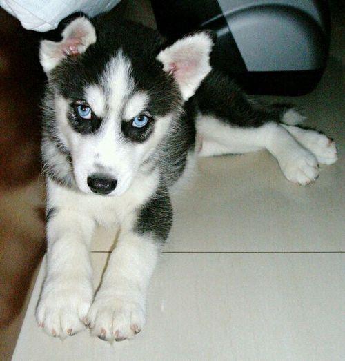 Siberian Husky Puppy Love Cute Pets