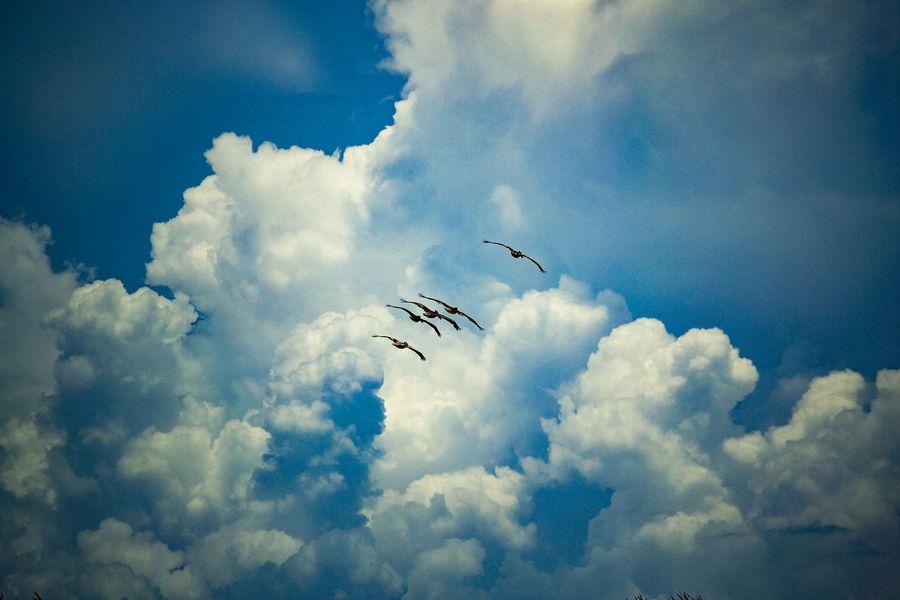 Beauty In Nature Bird Birds Cloud Cloud - Sky Day Flying Nature No People Ocean Bird Outdoors Pelicans Pelicans In Flight Scenics Seabird Sky Sky And Clouds Tranquil Scene Tranquility