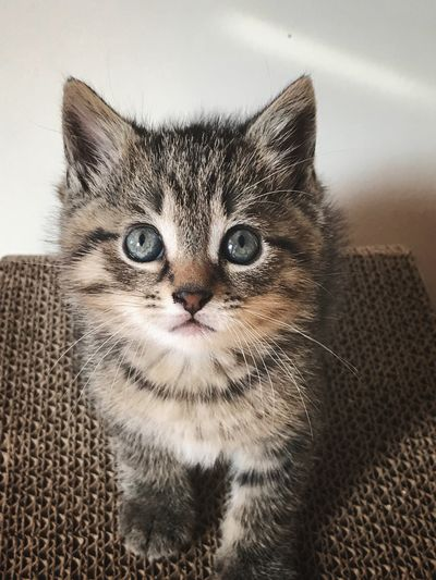 Kitten Kitten EyeEm Selects Pets Cat Domestic Domestic Cat Domestic Animals Feline Mammal Animal One Animal Whisker Looking At Camera No People Close-up Animal Head
