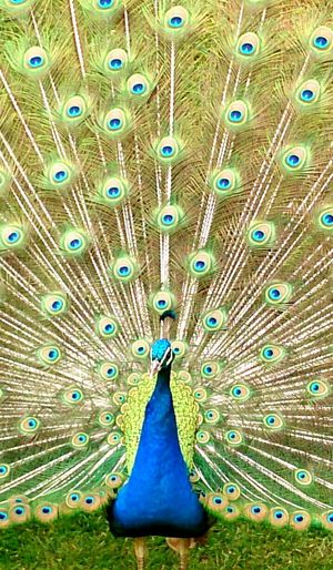 Peacock Feathers Birds Blue Secret Garden Natural Beauty