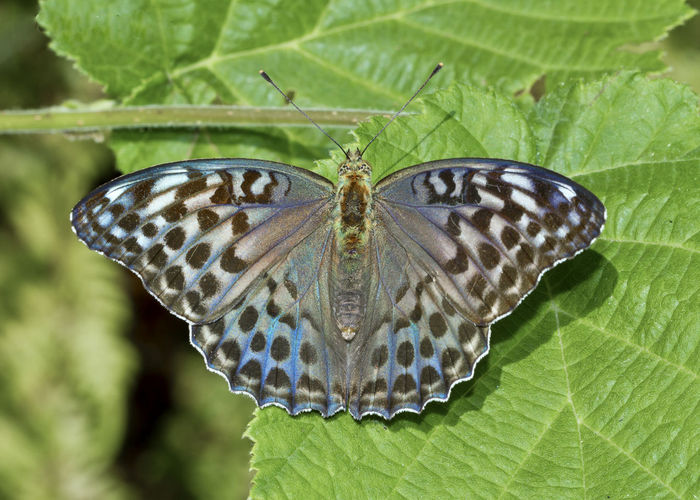 Argynnis paphia paphia Argynnis Paphia Argynnis Paphia Paphia Animal Animal Markings Animal Themes Animal Wildlife Animals In The Wild Beauty In Nature Butterfly Butterfly - Insect Close-up Insect Leaf Nature No People Plant Plant Part