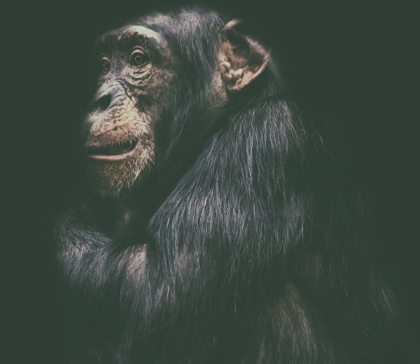 Close-up portrait of a monkey looking away against black background
