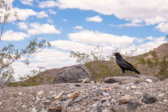 Copy Space Death Valley Desert Loneliness Plant Animal Themes Animals In The Wild Arid Climate Beauty In Nature Bird Black Cloud - Sky Day Dry Empty Mountain Nature No People One Animal Outdoors Perching Raven - Bird Rock - Object Sky