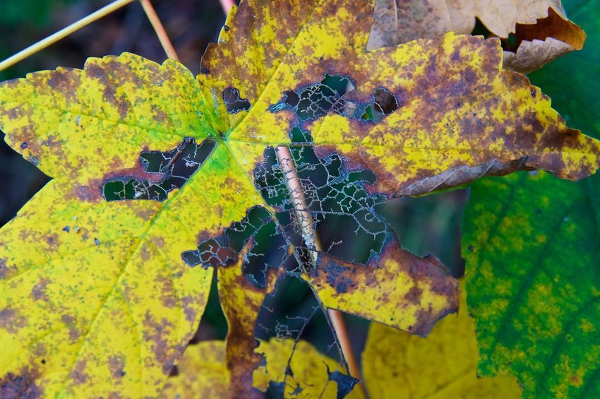 Autumn Leaf and its skeleton Autumn Autumn Colors Autumn Leaves Beauty In Nature Day Fragility Landscape Leaf Leaves Nature No People
