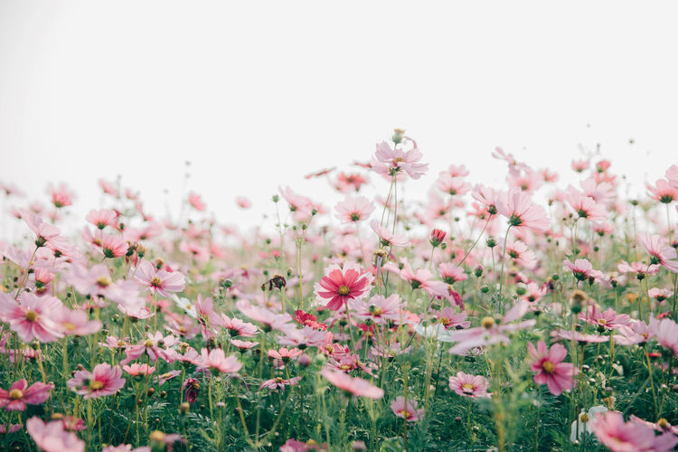Cosmos Flower Beauty In Nature Clear Sky Close-up Day Field Flower Flower Head Flowering Plant Fragility Freshness Growth Land Nature No People Outdoors Petal Pink Color Plant Selective Focus Sky Springtime Tranquility Vulnerability
