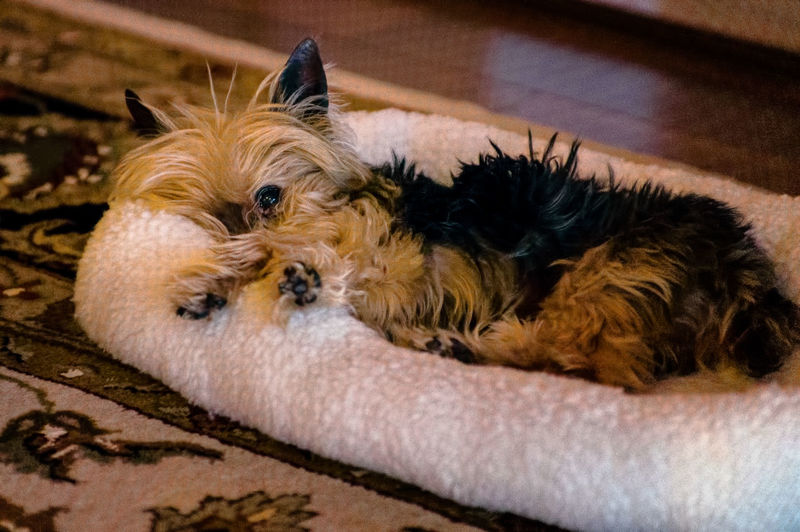 Portrait of dog relaxing at home