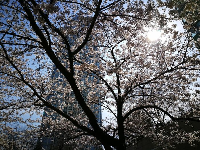 Sakura2017 Tokyo,Japan Sky Nature No People Tree Low Angle View Full Frame Backgrounds Beauty In Nature Growth Outdoors Day Close-up