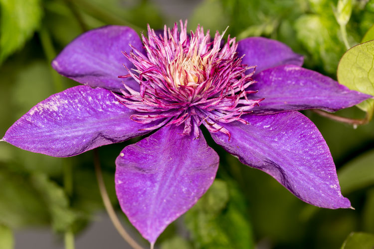 Clematis Flower Clematis Vine Clematis Close Up Flower Close Up Clematis Clematis Flowers Clematis, Flower Clematisphotography Flower Collection Flower Head Flower Purple Flowers