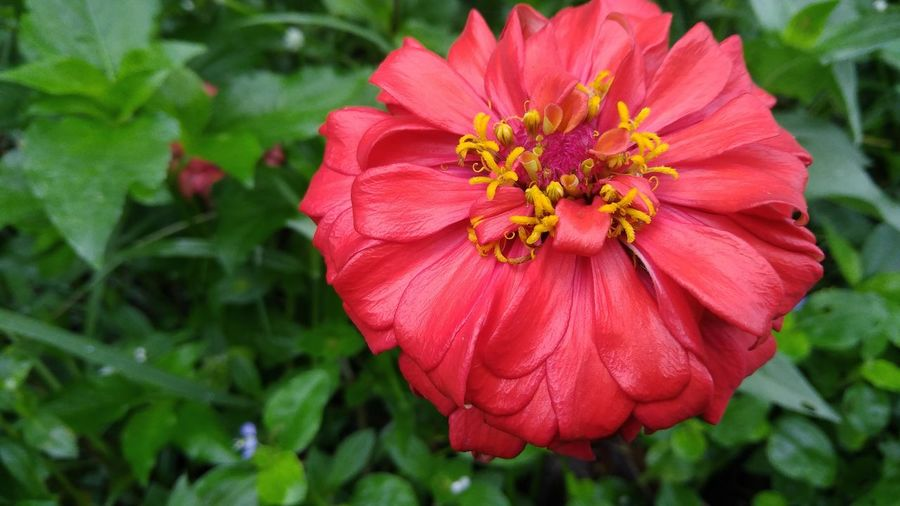 Flower Head Flower Poppy Beauty Zinnia  Red Peony  Multi Colored Closing Summer Flowering Plant In Bloom Tropical Flower