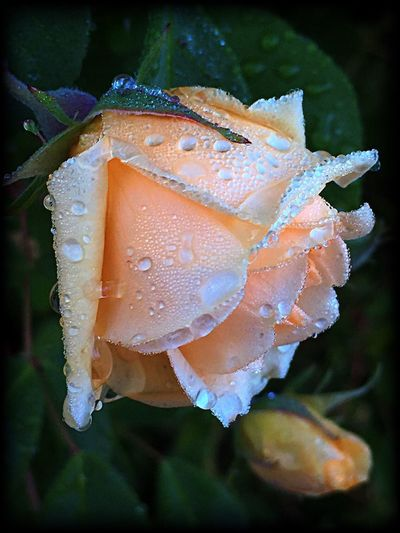 Roses and raindrops are a beautiful mix. Raindropsonroses Raindrops Rosé Aftertherain PNW Pacific Northwest  Rose - Flower Flower Raindrops On Roses After The Rain Petals Plant