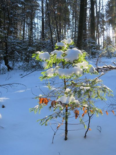 Snow-covered tree in the sun Winter Winter Woods Beauty In Nature Fragility Growth Landscape Nature No People Outdoors Snow Snow Woods Tranquil Scene Tranquility Tree Trees In Snow Winter Trees