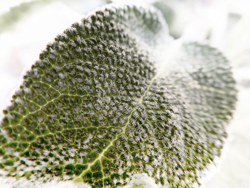 Aromatic Herbs Beauty In Nature Close-up Focus On Foreground Plant Sage Leaf Textures In Nature White Background