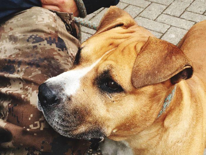 Amstaff Amstaff Love ❤ One Animal Canine Dog Pets Mammal Vertebrate Domestic Animals The Traveler - 2018 EyeEm Awards The Still Life Photographer - 2018 EyeEm Awards