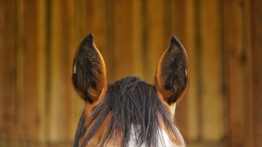 Close-up of horse ears against brown background