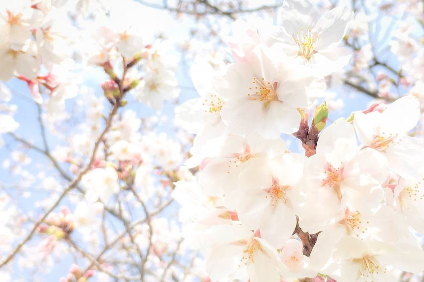 Japan Petal Petals Sakura Cherry Blossoms Flower Blossom Springtime Tree Nature Beauty In Nature Branch Flower Head Growth Sky Softness Freshness Beauty