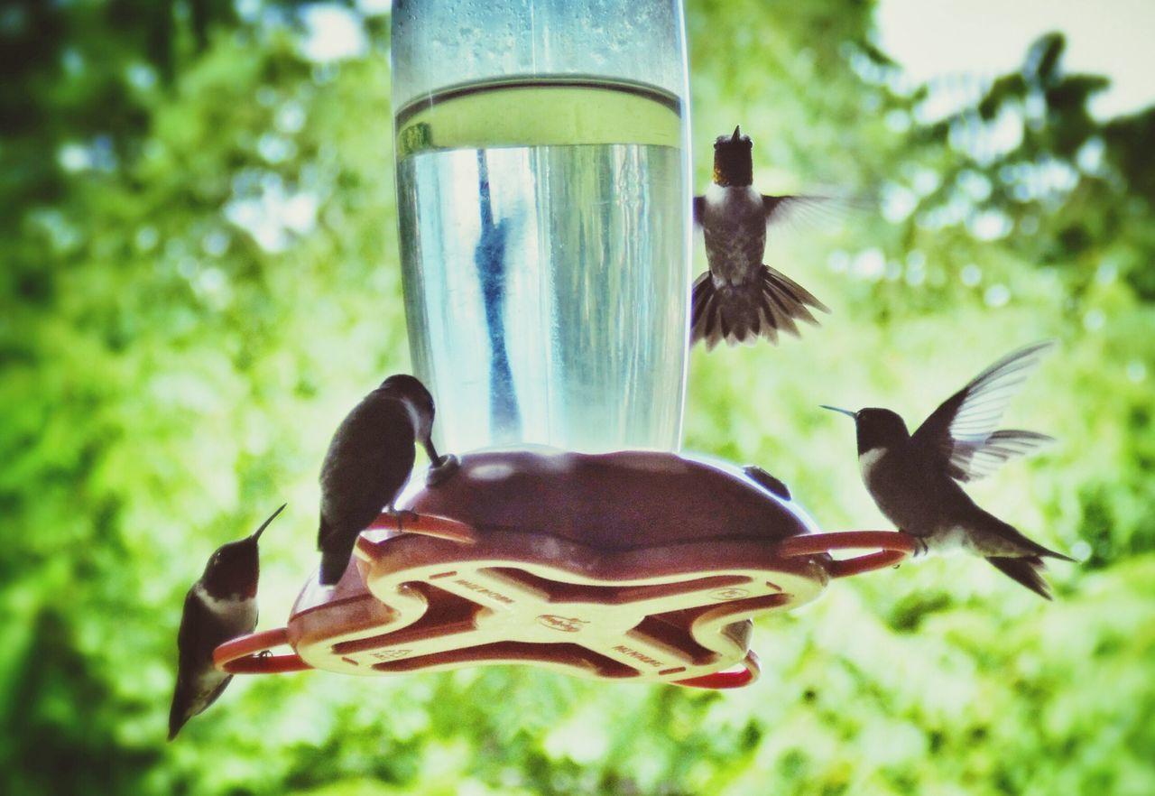 Hummingbirds gathering around bird drinker
