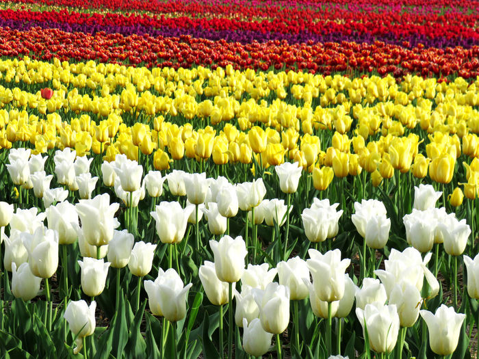 Field of white, yellow, two color, purple and red tulips Abundance Beauty In Nature Day Field Flower Flower Head Flowerbed Flowering Plant Fragility Freshness Garden Growth Land Nature No People Ornamental Garden Outdoors Petal Plant Springtime Tulip Vulnerability  White Color Yellow