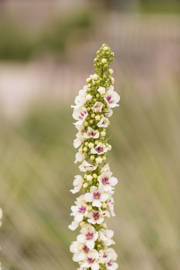 White and red nettle leaved Mullein, Verbascum chaixii, Album flower blooms in a California botanical garden in spring. Album Flower Beauty In Nature Close-up Day Flower Flower Head Fragility Freshness Growth Mullein Nature Nettle Nettle Flower No People Outdoors Plant Verbascum Chaixii Wildflower