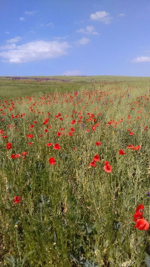 Flower Growth Field Red Crop  Nature Agriculture Freshness Rural Scene Posibillities Beauty In Nature Poppy Sky Summer Day Abundance Plant No People Cloud - Sky Social Issues Backgrounds