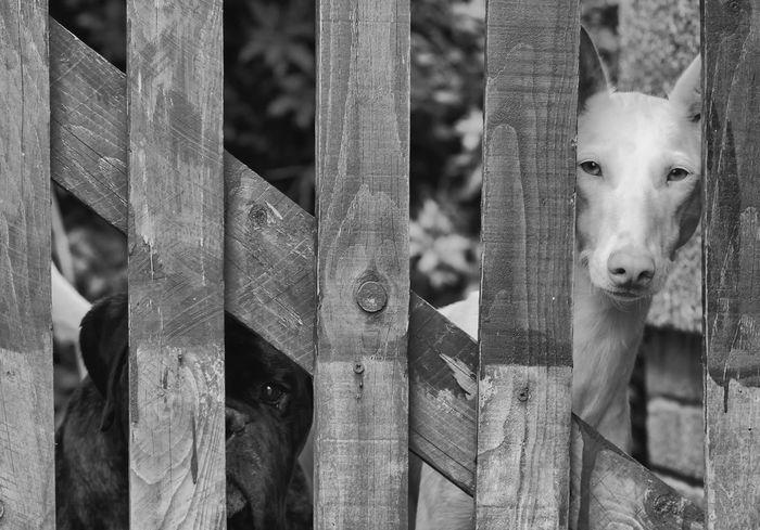 Don't go. Boxer Dog Dog Love Dogs Dog❤ Friends Ibizan Hound Loyal Pets Podenco Ibicenco