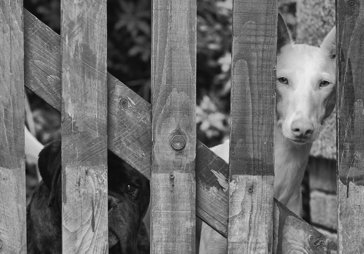 Dogs Peeking Through Wooden Fence