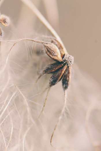 Close-up of dry dandelion