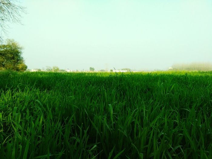 Don't talk anymore.. Grass Field Green Color Agriculture Crop  Growth Nature Rural Scene Cereal Plant No People Outdoors Day Tree Clear Sky Beauty In Nature Freshness Kdwithyou. Bolgspot. Com India KDphotography Love The Week On EyeEm EyeEmNewHere Pet Portraits