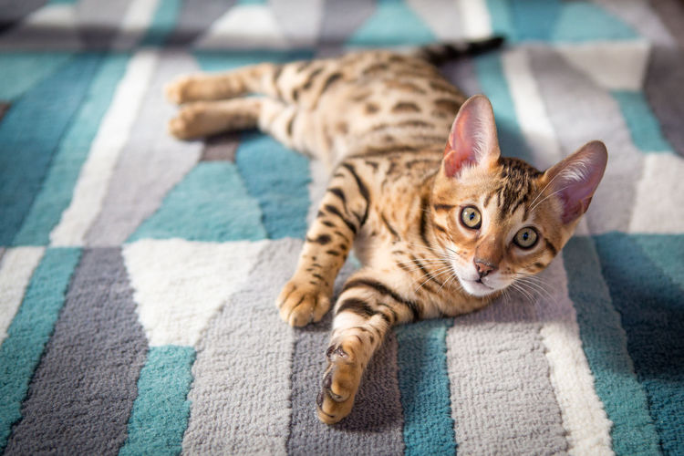 Animal Themes Bengal Bengal Cat Bengals Cat Cute Day Domestic Animals Domestic Cat Feline Indoors  Kitten Looking At Camera Lying Down Mammal No People One Animal Pets Portrait Spots Stripes Pattern Tabby Cat Tiger Yawning You