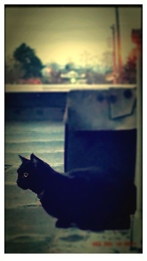 Everett Rooftop Black Cat Rooftop Cat Vigilance  Watching Sunrise Urban