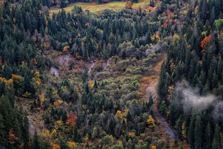 Panoramic view of pine trees in forest during autumn
