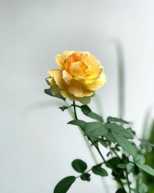 The first rose !! By Phone ppePetalFrFreshnessPlPlantflFlower HeadnoNo PeopleblBloomingwhWhite BackgrounddaDayouOutdoorsose ! fflFloweratAt Home Sweet HomeyeYellowbeBeauty In NatureNaNatureGrGrowthclClose-up