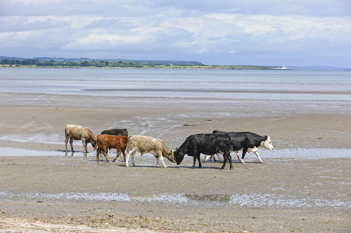 Stand-off on the beach, Cunnigar strand, County Waterford Farm Animals Ireland Animal Themes Beach Beachphotography Bullocks Cattle Cattle On A Beach Cloud - Sky Cows Cows On A Beach Landscape Nature No People Outdoors Sand Scenics Sea Sky Water Waterfront