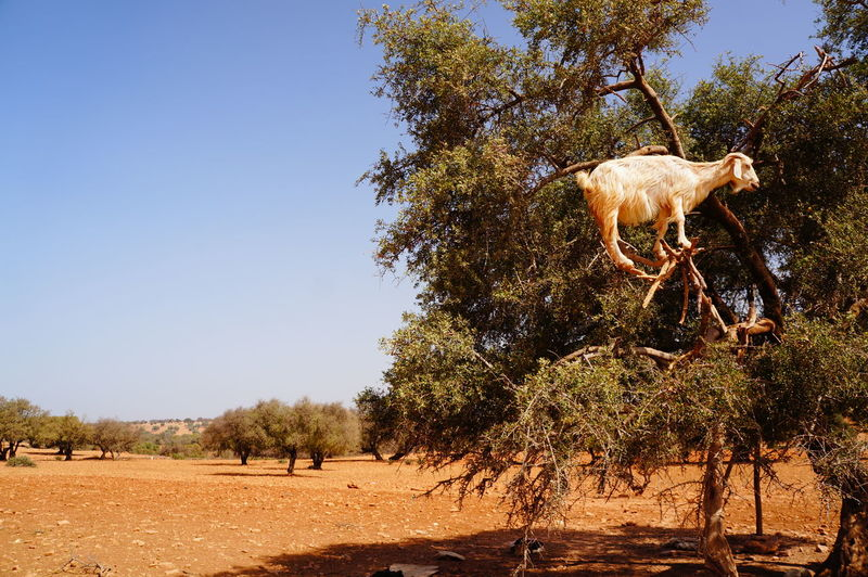 Goat standing on tree against clear sky