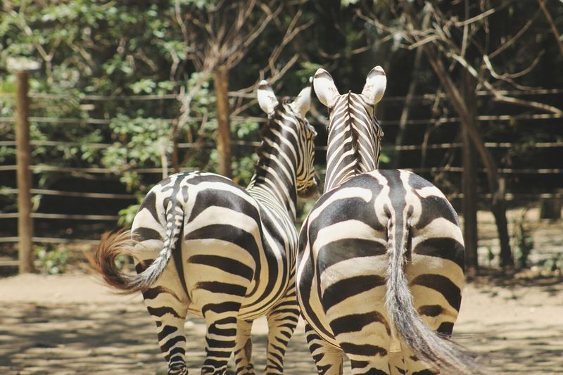 2 Cool4 u. Zebra Animals Wild Wildlife Nature Zoo Crazy Zoophotography Zoo Hidden Gems  Love Couple