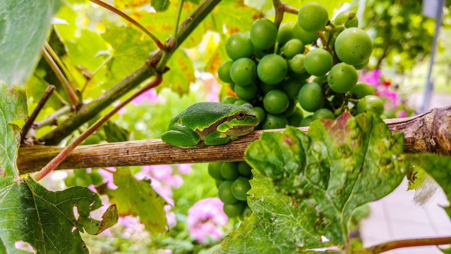 Hello World Relaxing Nature Nature Photography Outdoors EyeEm Nature Lover In My Garden Green Amphibian Green Color Frog Frosch Animal Laubfrosch
