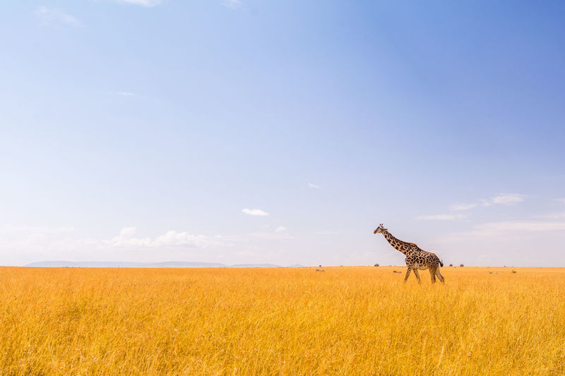 Scenic view of giraffe in field