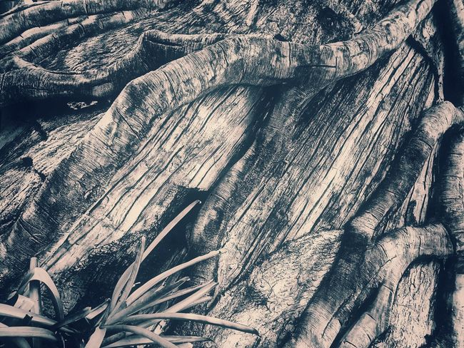 Black And White Black And White Photography Black And White Collection  Root Roots Roots Of Tree Root Of A Tree Root Of The Tree Root Of Tree Texture Texture Photography EyeEm Selects Textured