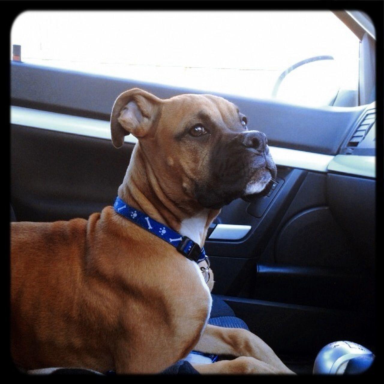 car, transportation, dog, sitting, car interior, one animal, mammal, land vehicle, mode of transport, domestic animals, pets, day, animal themes, no people