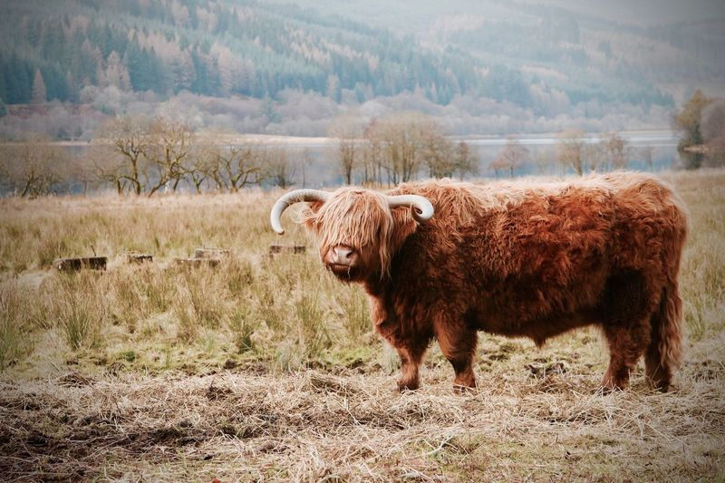 Highland cattle on field