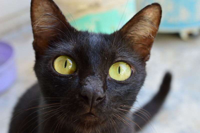 black cat with yellow eyes Alertness Animal Body Part Animal Eye Animal Head  Animal Themes Black Color Cat Cats Close-up Domestic Animals Domestic Cat Doubt Eyes Feline Focus On Foreground Mammal No People Pets Portrait Selective Focus Snout Whisker Yellow