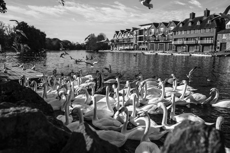 Swans in Windsor... Travel Destinations Phototraveller Eyemphotography Globetrotter Wanderlust Waphaphotographer Travel Photography EyeEmNewHere Viaggiare Liveforadventure Livefortravel Lonelyplanet Outdoors Black And White Photography Streetphotography London Canon 6D Swans Travel Canon River Windsor Rethink Things Postcode Postcards